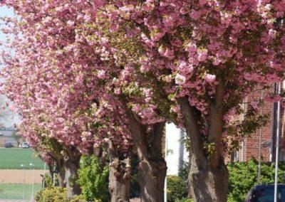 Gillbachstrasse - Blüte im Frühjahr